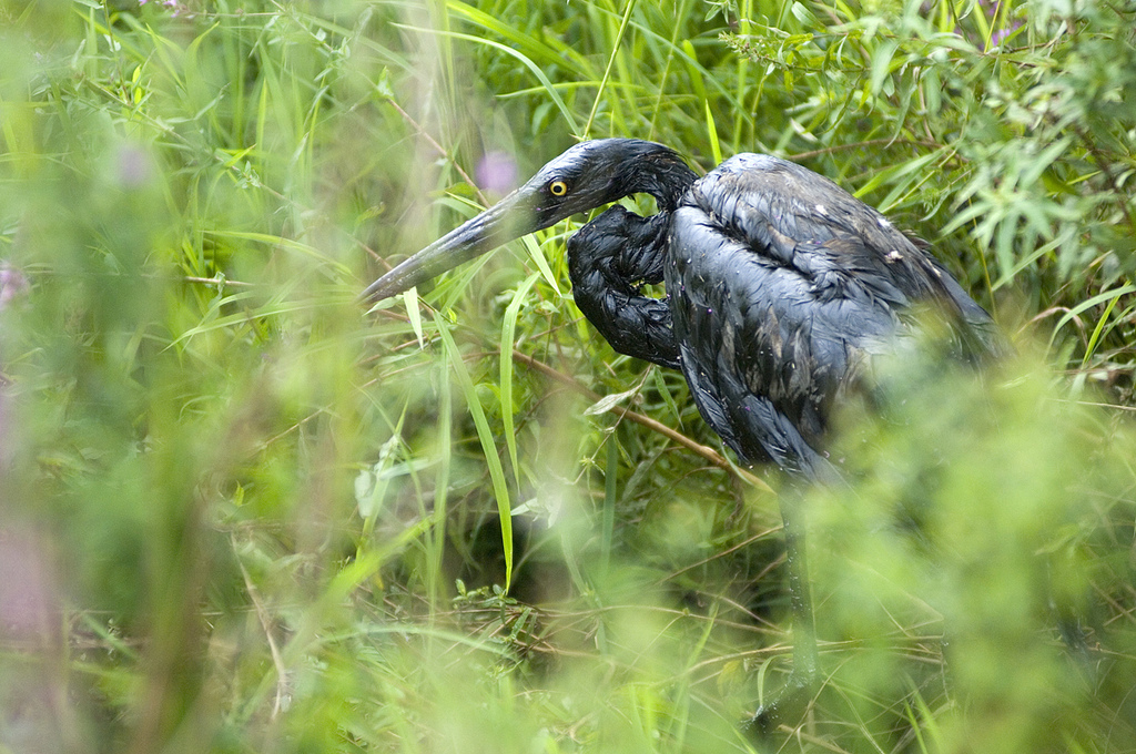 A Great Blue Heron suffers from the tar sands oil spill into the Kalamazoo River